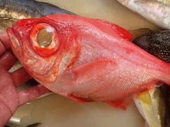 フウセンキンメの寿司 デリバリー