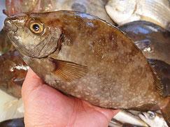 アイゴ 未利用魚 美味しい魚