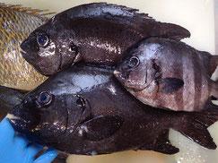 石鯛の寿司 デリバリー