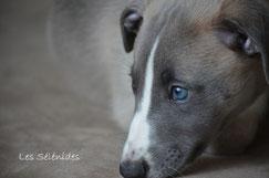 chiot whippet sable bleuté vendée élevage familial