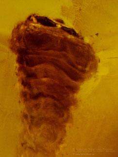 Inclusion in amber: Coleoptera, Cerambycidae
