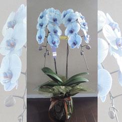 青の花15500円胡蝶蘭
