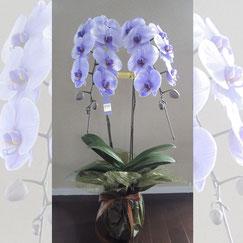 紫の胡蝶蘭メッセージ付