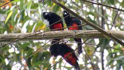 Red-bellied grackle, Rotbauchgrackel, Hypopyrrhus pyrohypogaster, Jardin, Colombia