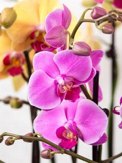 orchidée arrosage connecté avec OriCine® eau