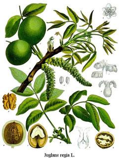 Quelle: https://de.wikipedia.org/wiki/Datei:Juglans_regia_-_K%C3%B6hler%E2%80%93s_Medizinal-Pflanzen-081.jpg