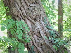 Der furchige Stamm einer Esche ist umrankt von deren grünen Blättern