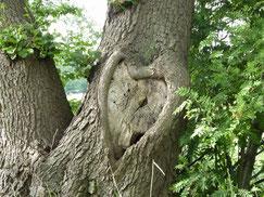 Eine Esche hat aus einem Astloch in ihrem Stamm ein wunderschönes Herz gebildet. Dieses Herz ist auf natürliche Weise entstanden.