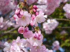 Weißrosa Kirschblüten strahlen in der Sonne. Im Hintergrund sind grüne Blätter zu sehen