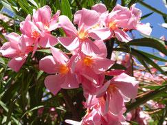 Weißrosa Blüten heben sich ab vor grünen Blättern und blauem Himmel