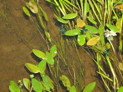 Drei schillernde blaue Prachtlibellen schweben über den Wasserpflanzen eines Baches