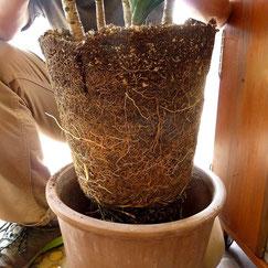 ↑根鉢とはこんな状態です。