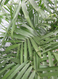 Chamaedorea Seifrizii Bambuspalme Palmen Schartners Webseite