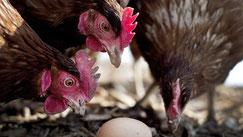 2012 fertigte ein Tierschützer heimliche Aufnahmen in Hühnerställen an und überließ diese dem MDR. © Victoria Bonn-Meuser/dpa