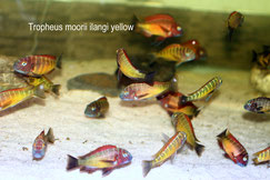 Tropheus, Tropheus moorii, Tropheus moorii ilangi, Tropheus moorii ilangi yellow