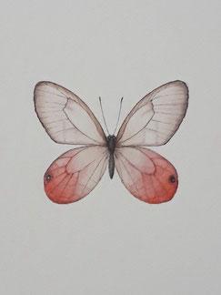 ベニスカシジャノメ(ペルー)Atelier-Sachic