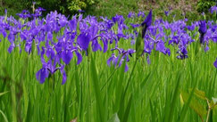 杜若(カキツバタ)の花