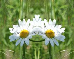 Spiegelbild, Energiebild, Blume, Margerite,