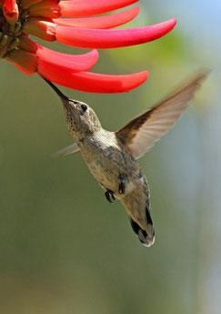 """""""Humming Bird drinking nectar"""" by Michael Elliott"""