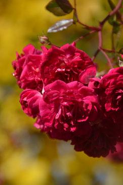 Ramblerrose Super Excelsa im Herbst