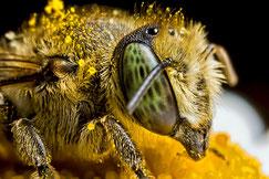Mit Pollen eingepuderte Wildbiene [zum Vergrößern bitte anklicken] spetacolopuro - Wikimedia 2009