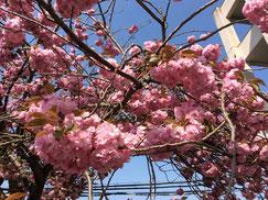 塩釜高校校庭の天然記念物「塩釜桜」