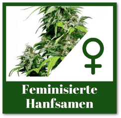 Feminisierte Hanfsamen kaufen