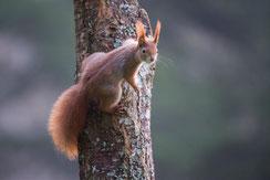 Europäisches Eichhörnchen, rote Form (Foto: W. Lorenz, LBV-Bildarchiv)