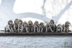 Elf Weimaranerwelpen auf Bank sitzend