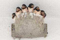 Seltener Bruterfolg: Sieben in einem Nest