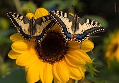 Glückwunschkarte, Fotokarte, Geburtstagskarte, Schmetterling, Schmetterlinge, Sonnenblume