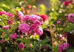 Glückwunschkarte Rosen, Duftrosen, Englische Rosen, Priska Ziswiler, Priska Ziswiler-Heller, Ettiswil