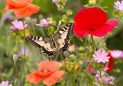 Glückwunschkarte, Fotokarten, Schmetterling, Schwalbenschwanz, Papilon Machaon, Priska Ziswiler, Priska Ziswiler-Heller, Ettiswil
