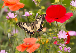 Glückwunschkarte, Fotokarten, Schmetterling, Schwalbenschwanz, Papilon Machaon, Priska Ziswiler, Priska Ziswiler-Heller, Ettiswil, Geburtstagskarte