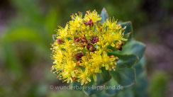 Blütenfarbe gelb