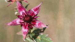 Blütenfarbe rot, rosa oder purpurn