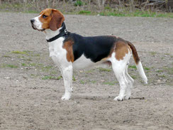 Wikipedia_Arcalexx_ein Jahr alter Beagle tricolor