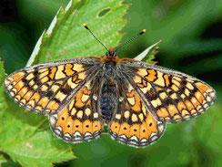 Schmetterling Skabiosen-Scheckenfalter Euphydryas aurinia LBV Neu-Ulm