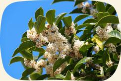銀木犀(ギンモクセイ)浜松・湖西・磐田・豊橋でオススメお勧めの植木・庭木・シンボルツリー