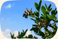 ブルーベリーの木|浜松・湖西・磐田・豊橋でオススメお勧めの植木・庭木・シンボルツリー