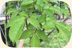 アオダモ|浜松・湖西・磐田・豊橋でオススメお勧めの植木・庭木・シンボルツリー