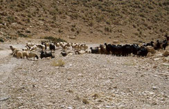 21 -  Plus de 100 millions d'herbivores « comestibles » (moutons, chèvres, vaches, dromadaires…) ravagent les sols et les écosystèmes du Maroc, avec, semble-t-il la bénédiction des autorités et des gestionnaires