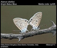 Azanus ubaldus, in copula ©P.V. Baburay