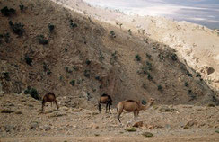 23 - Strictement doté pour le désert, le Dromadaire est acclimaté dans les plus hautes montagnes du Maroc où il commet d'irréversibles ravages