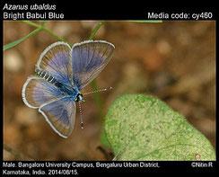 Azanus ubaldus, mâle ©R. Nitin