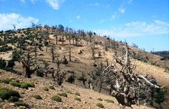 20 - Forêt d'arbres morts