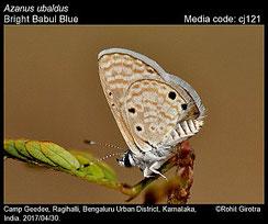 Azanus ubaldus, mâle ©Rohil Girotra