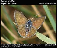 Azanus ubaldus, femelle ©K.M. Haneesh