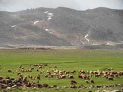 14 - Troupeaux sédentaires sur les proches terrains collectifs de Taanzoult