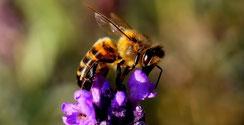 abeille butinant pour miel et goûter d'antan en deux-sevre